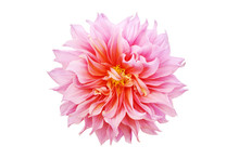Blooming Pink Dahlia Flower Is...