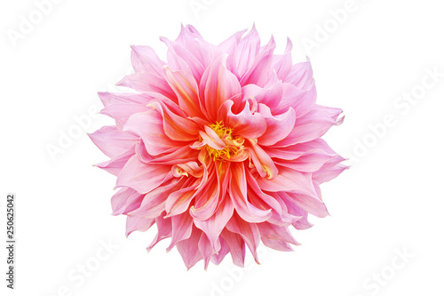 Valokuvatapetti Blooming Pink Dahlia Flower Isolated on White Background