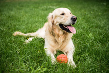 Golden Retriever Dog Lying With Rubber Ball On Green Lawn
