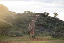Giraffe Walking At Sunset (Gir...