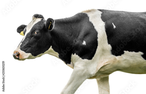 cow on a white background Fototapet