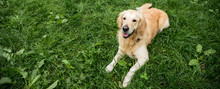Golden Retriever Dog Resting On Green Lawn In Park