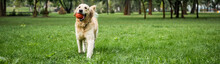 Funny Golden Retriever Dog Run...