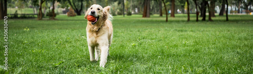 funny golden retriever dog running with ball on green lawn - 250630470