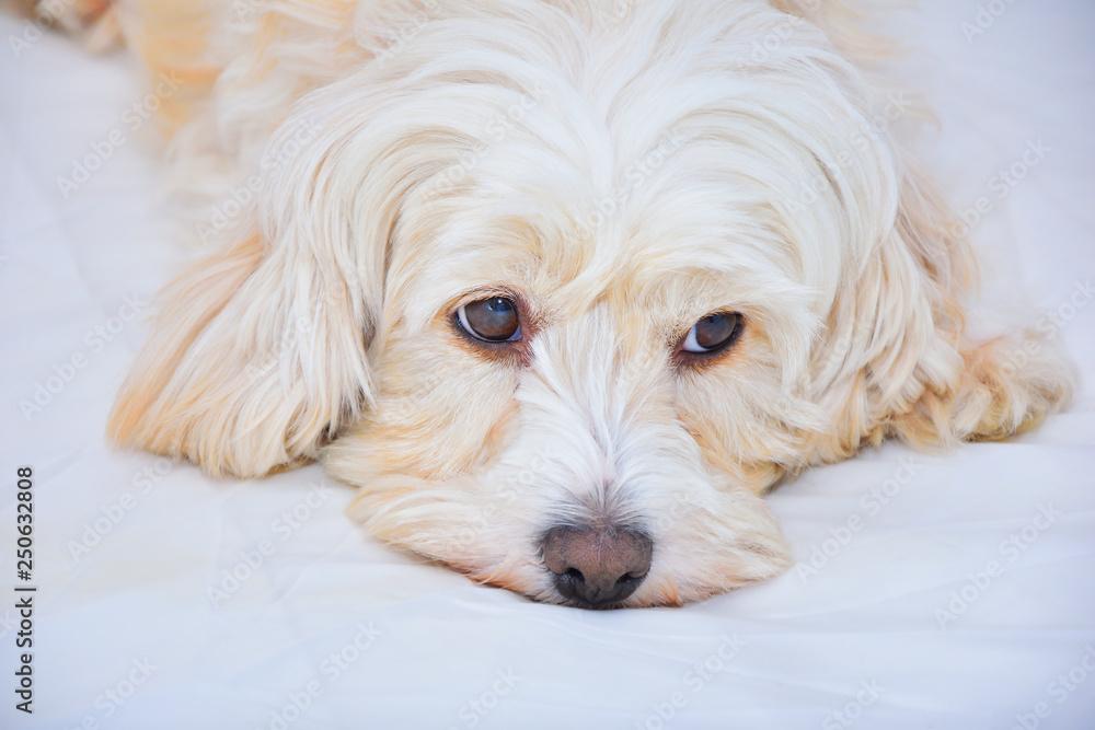 Fototapety, obrazy: malteser dog