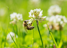 Biene Klee Bee Clover White