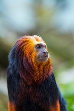 Golden-headed Lion Tamarin (Le...