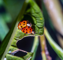 Coccinella Magnifica , Ladybird Beetle.
