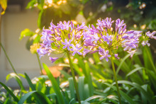 Beautiful Purple Agapanthus Africanus Flower (African Lily Or Lily Of The Nile), A Flowering Plant From The Genus Agapanthus Native To The Area Of Cape Of Good Hope In South Africa.