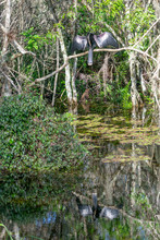 Trees And Water Of Everglases Swamp With Great Blue Heron