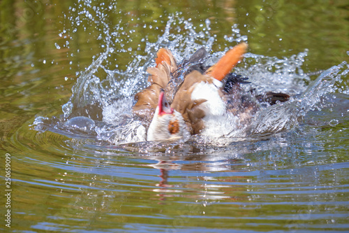 Fotografija  Abstract of Egyptian goose moving on water creating weird cubism like effect