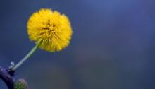 Yellow Acacia Tree Flower Back...