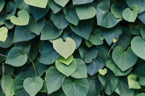 Fotografija  Exotic green leaves background for wallpaper, print.