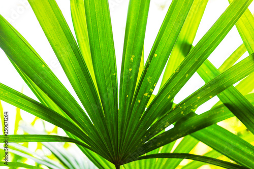 Fotografija  Dark green lady palm leaf