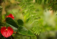 Anthurium Red Flower Background.