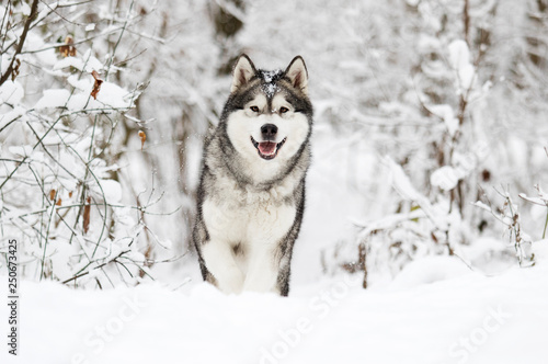 dog on a winter walk in the snow Canvas Print