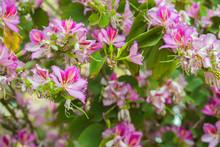 Phanera Variegata Pink Flowers...