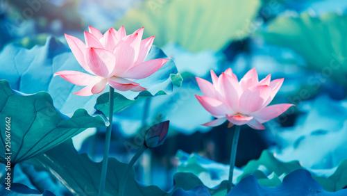 Foto auf Gartenposter Lotosblume blooming lotus flower