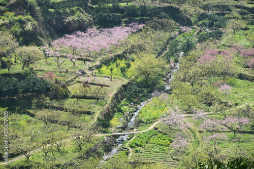 Poster Fleur Rural landscape,Peach Blossom in moutainous area in shaoguan district, guangdong province, China