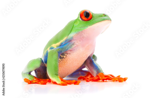 Foto op Canvas Kikker Red eyed tree frog from the tropical rain forest of Costa Rica and Panama. A cute funny exotic animal with vibrant eyes isolated on a white background. .