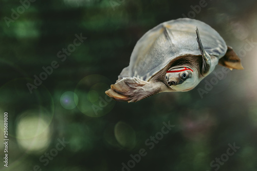 Fotografie, Obraz  Jumping cool turtle on dark green background close-up