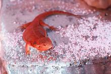 Bearded Dragon Lizard. Pogona Vitticeps.
