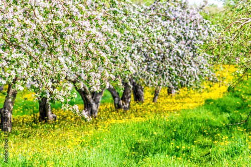 Apple orchard with many blooming trees with white and pink flowers during summer Fototapeta
