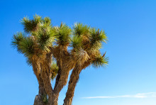 Branches Of A Joshua Tree