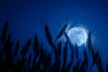 Wheat In Background Of Full Moon