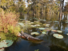 An Alligator In Lake Martin, Louisiana.