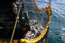 Yellowfin Tuna In The Net Of A Tuna Ship