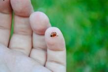 Ladybug On A Finger Tip