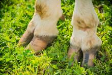 Close-up Of Cow Hoof Legs