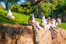 ..Group Of Ring Tailed Maki Catta Lemurs  With Big Orange Eyes. Madagascar Lemurs.