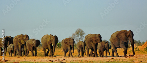 Fototapeta Panorama of a family herd of elephants walking across the golden sunlit African