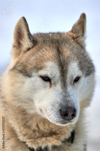 Canvas Prints Wolf Siberian ,Husky dog outdoors. Portrait of a husky dog in nature. Close-up.