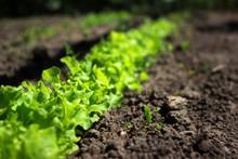 Green Curly Salad Growing In The Garden, Growing. Healthy Vegetarian Food.