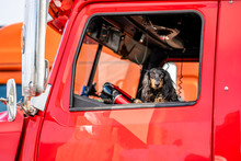 Brown Cocker Spaniel Looks Out Of The Window Of The Red Big Rig Semi Truck As Reliable Driver And Cab Protector