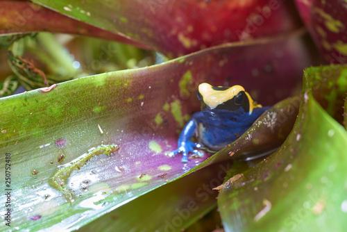 Photo Dendrobates tinctorius citronella
