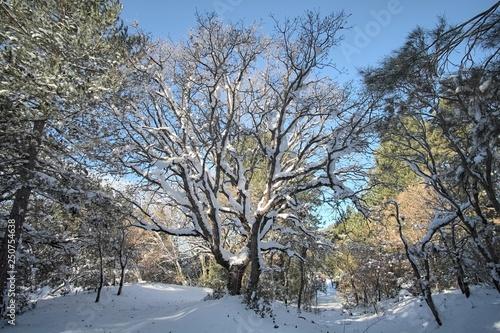Fényképezés  Snow Covered Trunk Of Pinewoods