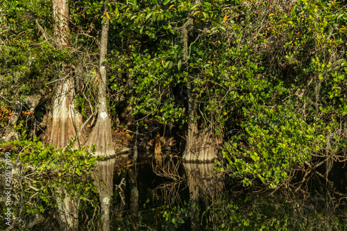 Foto  Cypress trees in the Everglades National Park, Florida
