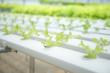 Hydroponics vegetables plant