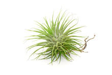 Tillandsia Isolated On White Background.Tillandsia Are Careless And Low Maintenance Ornamental Plants That Required No Soil, Only Plenty Of Water, Sunlight And Good Airflow. Fresh Green Tillandsia.