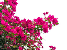 Bougainvillaea Flower Isolated...