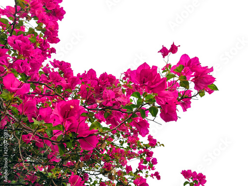 Foto bougainvillaea flower isolated tropical plant.