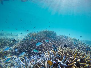 Fototapeta na wymiar coral, coralline, sea fan, brown soft coral with sunlight in similan, Myanmar - Image