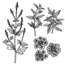 Hand Drawn Set Of Verbena, Flowers, Leaves And Twigs. Vintage Vector Sketch