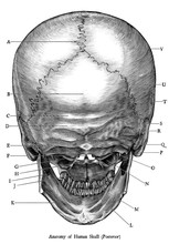 Antique Engraving Illustration Clip Art  Of Human Skull Anatomy Posterior View Isolated On White Background