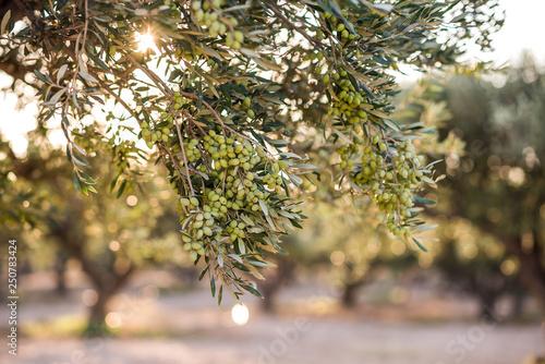 Foto op Aluminium Olijfboom Olive branch full of olives