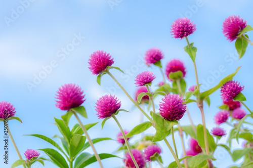 Photo Violet globe amaranth flowers with clear light blue beuatiful sky